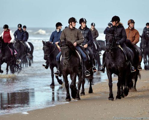 black horses on Dutch beach