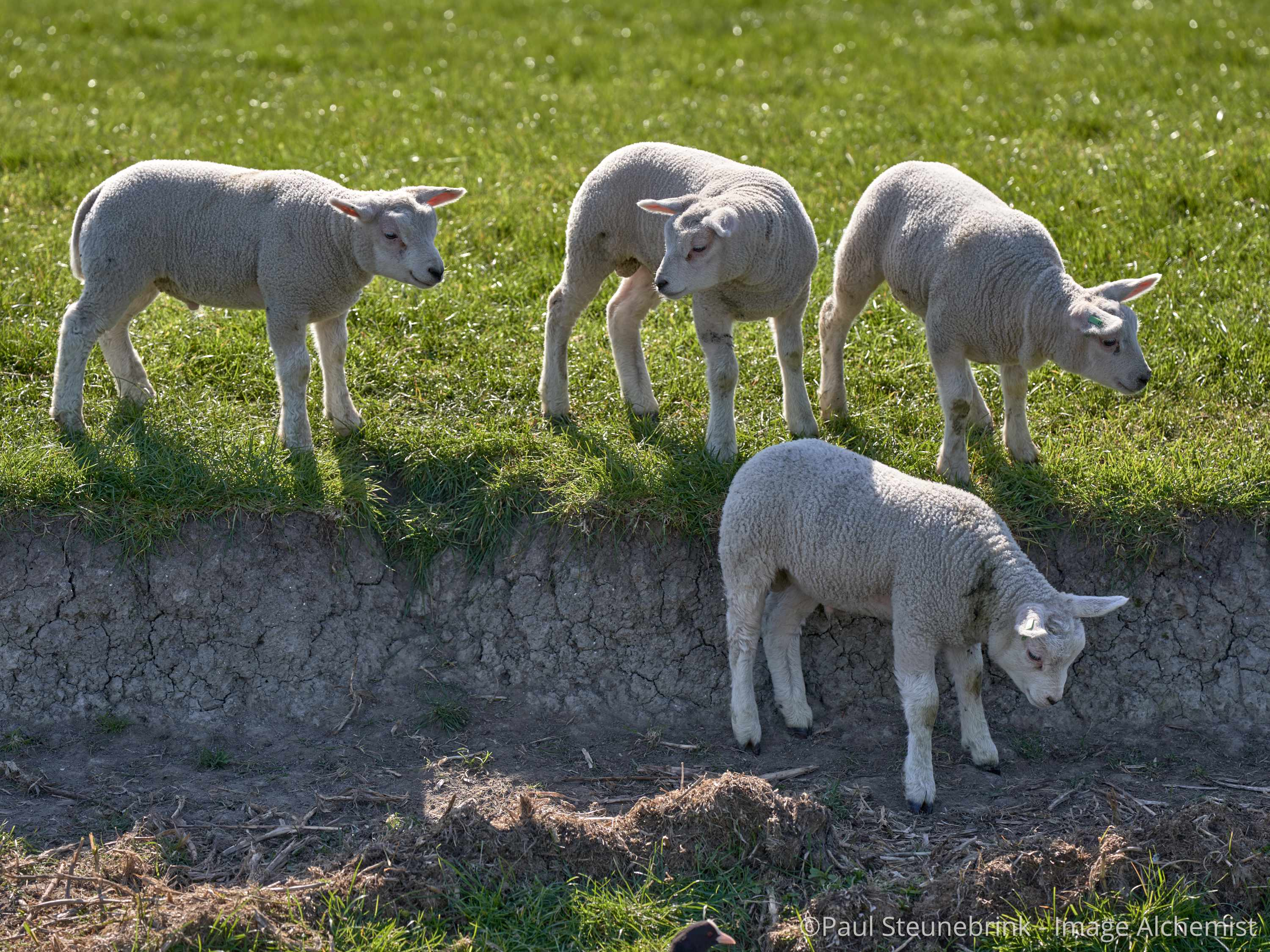 lambs in the meadow, spring 2020