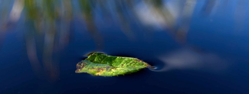 leaf in the water, close-up