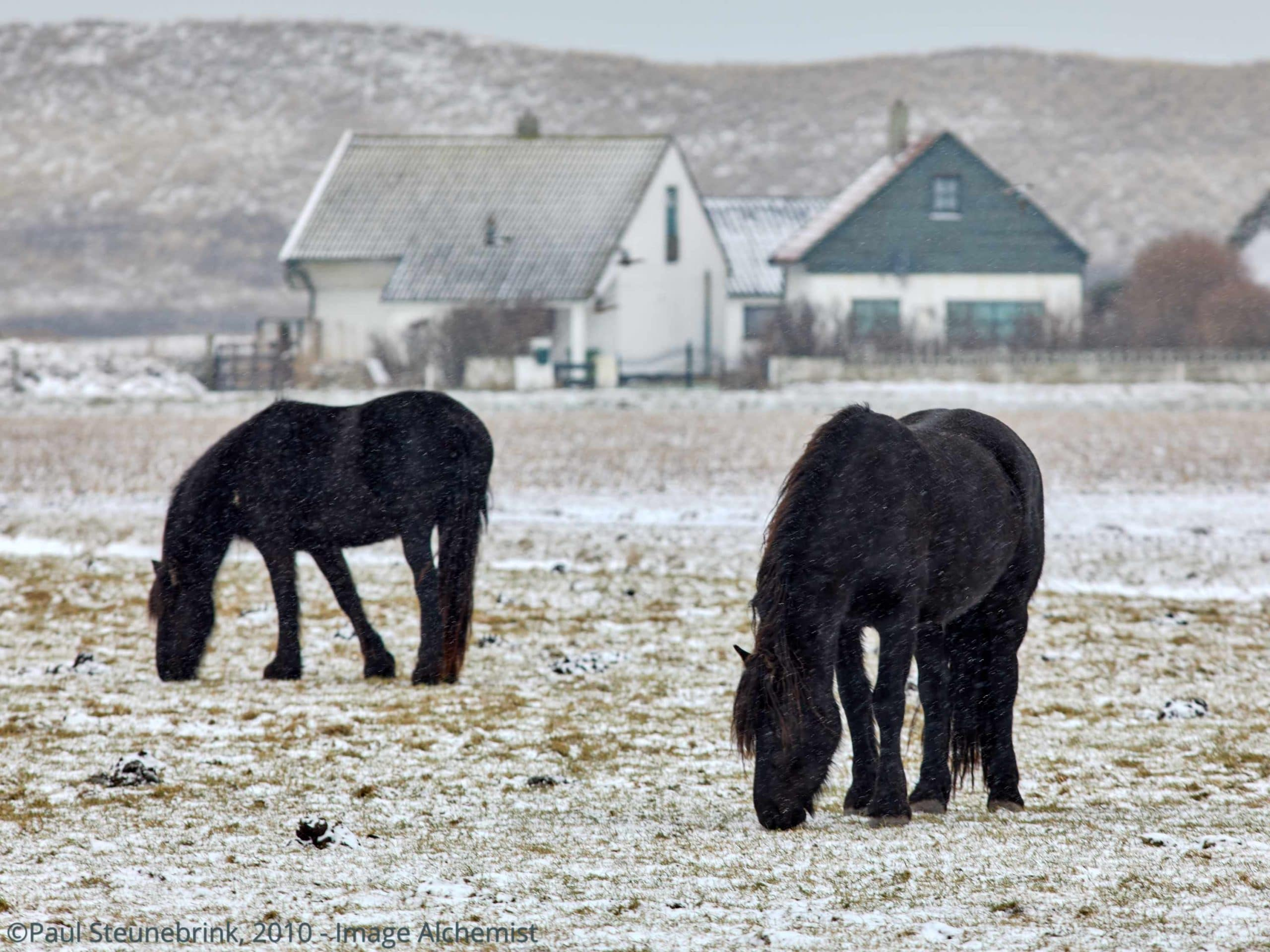 horses in the snow, dunes in background