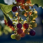 grapes in september, with style