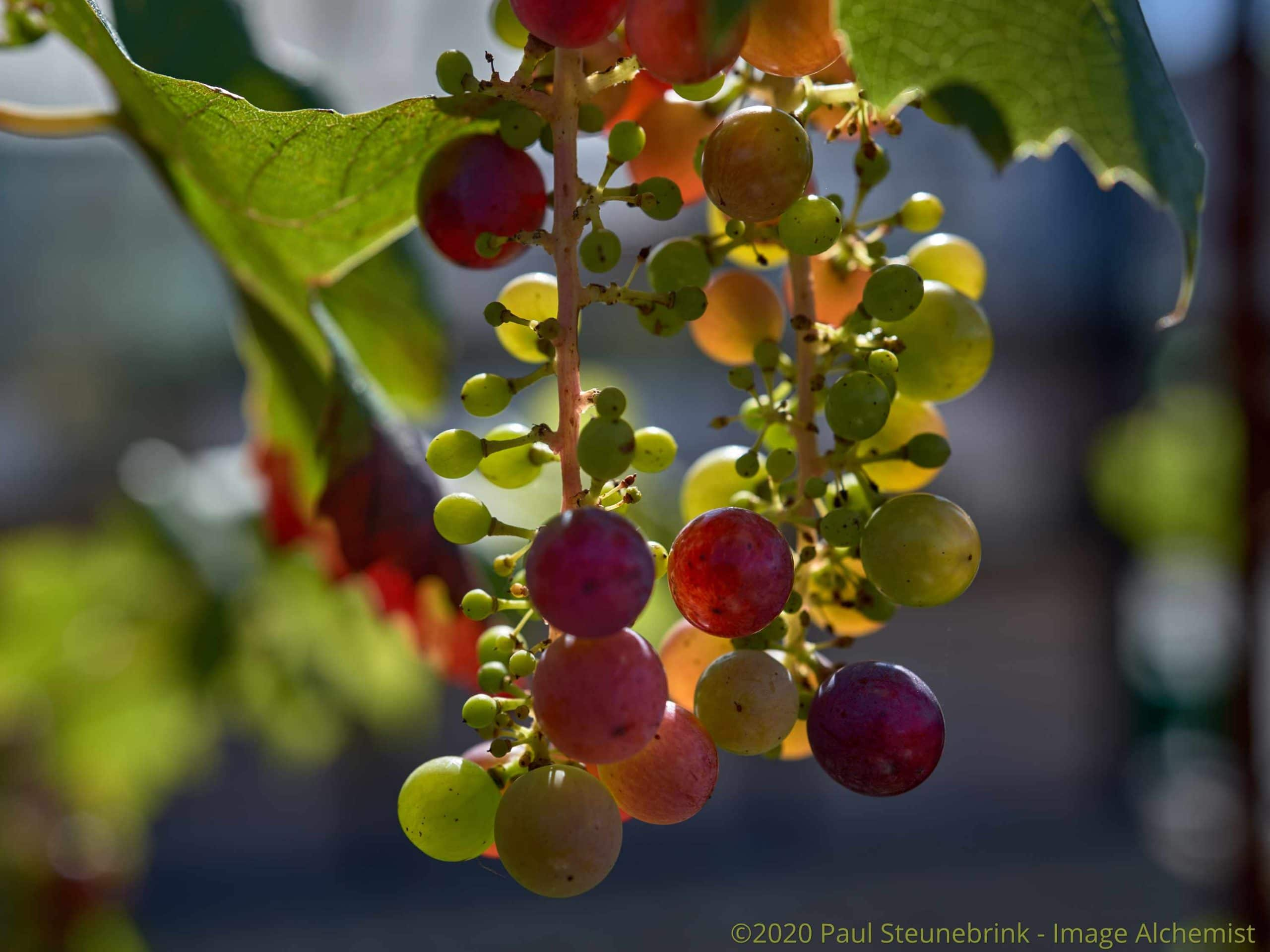grapes in september, without style